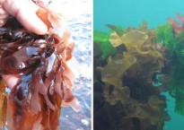 biobased economy met zeewierenkwekerijen in Zeeland